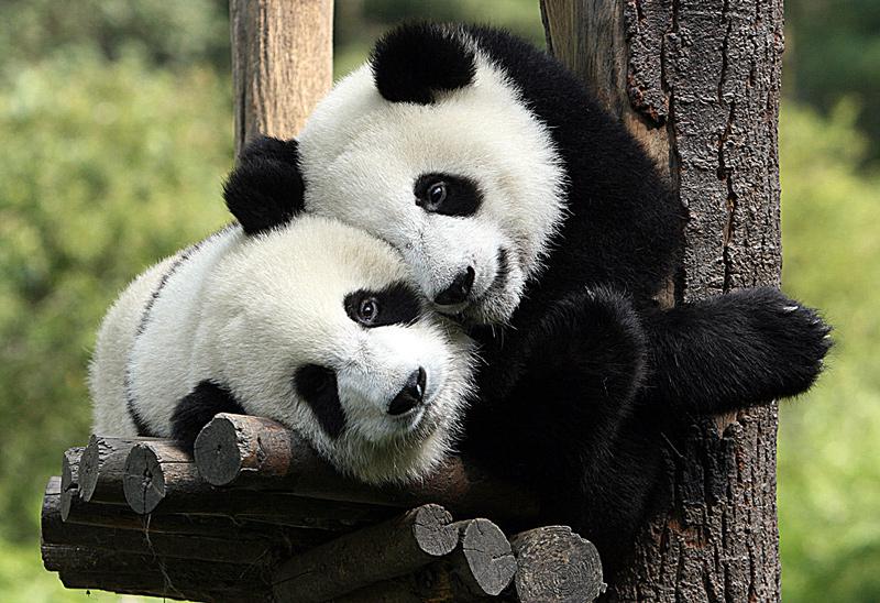 2-pandas-in-love_edinburgh_zoo